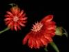 cecelia-webber-dragon-flower