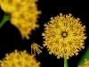 cecelia-webber-summer-dandelion