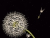 cecelia-webber-white-dandelion