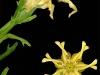 cecelia-webber-yellow-lily