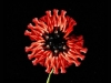 red-poppy_cecelia_webber