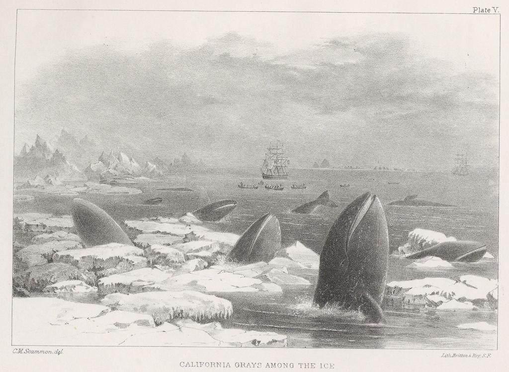 california-grays-among-the-ice