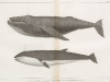 1-humpback-megaptera-versabilis-cope-2-sharp-headed-finner-balaenoptera-davidsoni-scammon