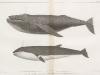 1-humpback-megaptera-versabilis-cope-2-sharp-headed-finner-balaenoptera-davidsoni-scammon
