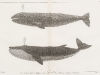 fig-1-the-california-gray-whale-rhachieanectes-claucus-cope-fig-2-the-finback-balaenoptera-velifera-cope