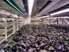 huerto-subterraneo-hidroponico-londres-bandejas-cultivo-3