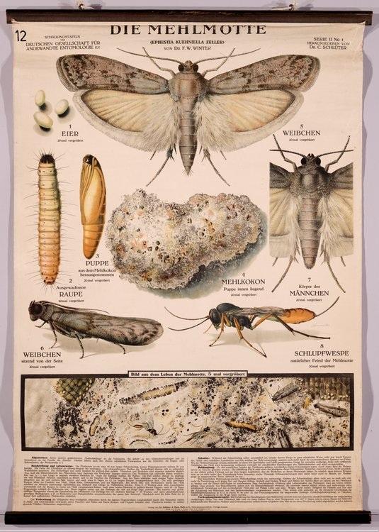 Ephestia-kuehniella