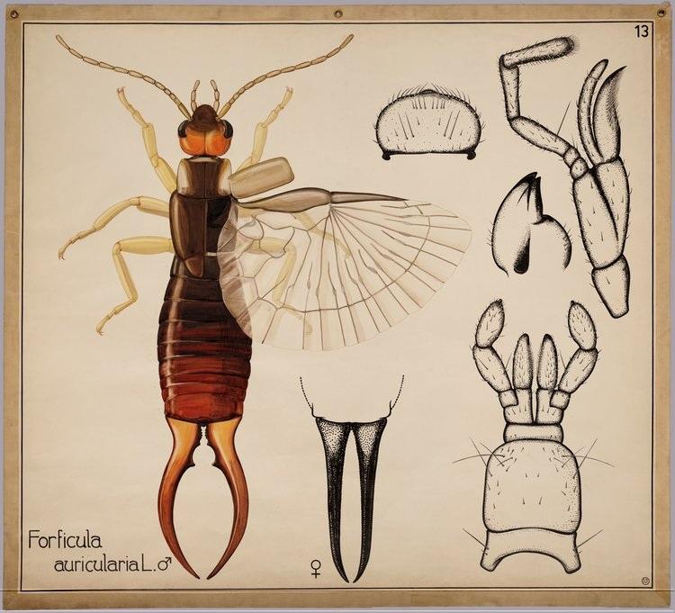 forficula-auricularia