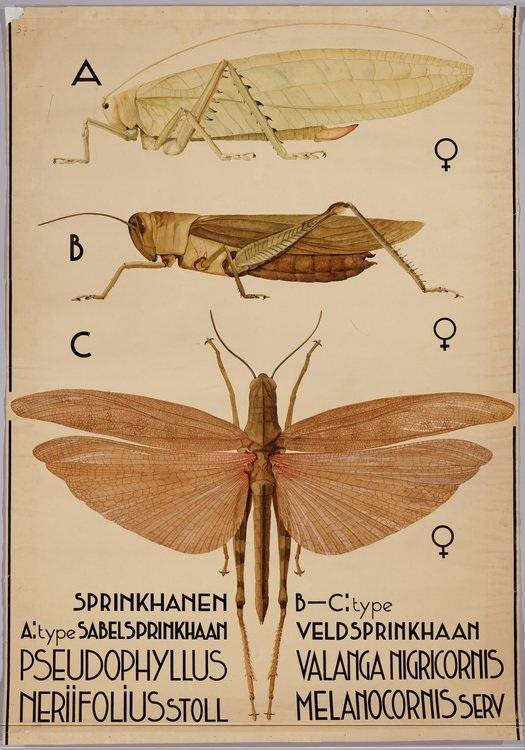 springkhanen-pseudophyllus-neriifolius