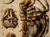 araneina-epeira-araña