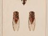 cicada-cigarra