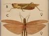 springkhanen-pseudophyllus-neriifolius-saltamontes
