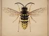vespa-vulgaris-avispa