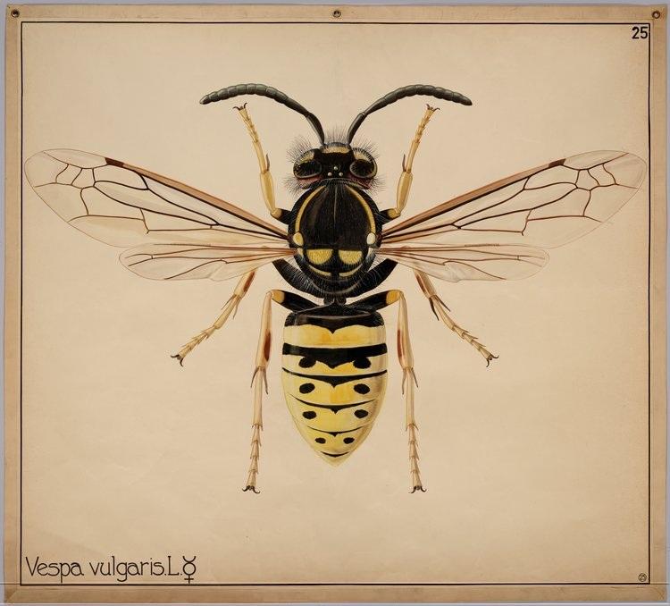 vespa-vulgaris