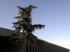 cedrus-libani-tree-museum