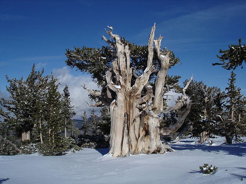 pinus_longaeva_in_snow_great_basin_