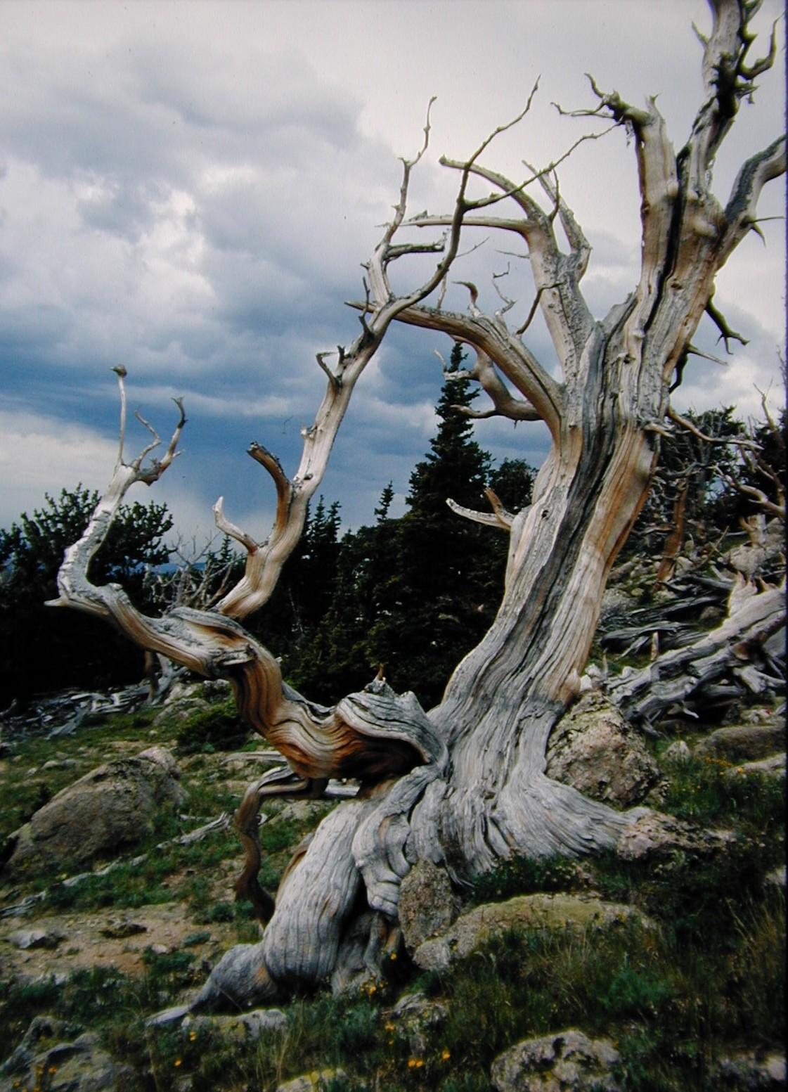 Pinus_longaeva_muerto