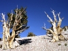 bristlecone_pines_california