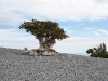 pinus_longaeva_mt_washington_2