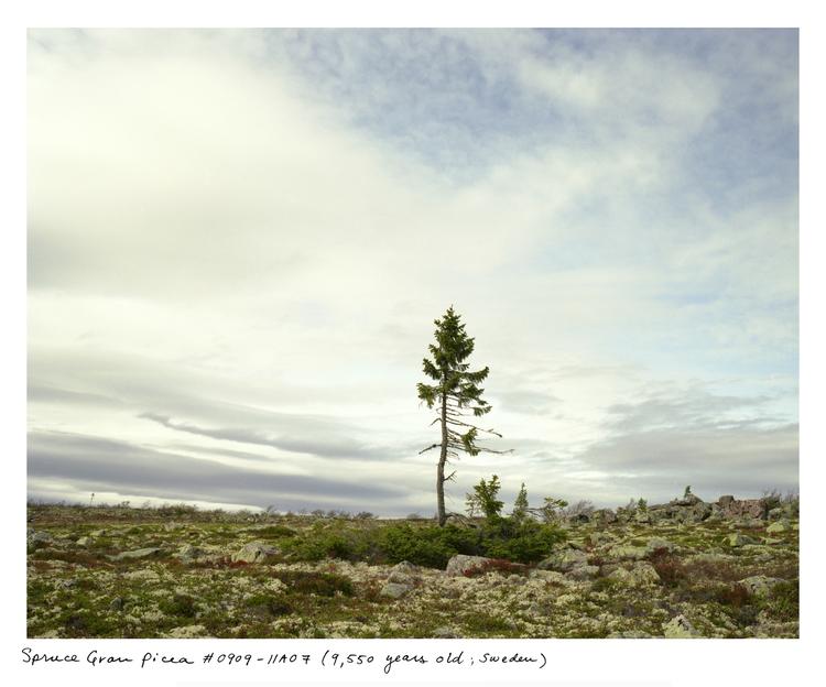 Sussman_spruce