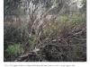 Sussman_NSW_Eucalyptus