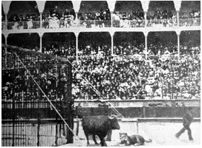 "San Sebastian Capital Cultural (1904): lucha entre el tigre ""Cesar"" y el toro ""Hurón"" en la plaza de toros"