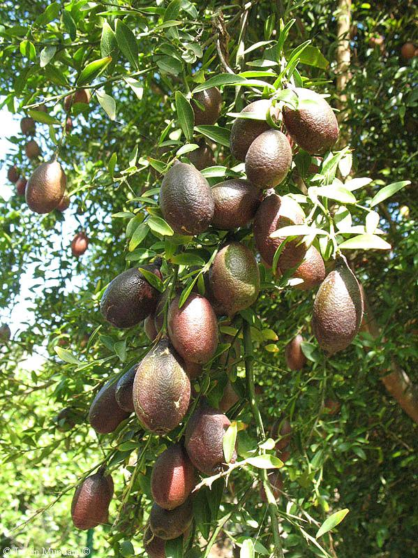 citrus-australassica-bibiloni