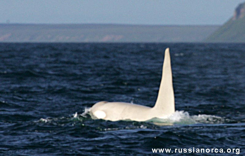 orca-blanca-iceberg