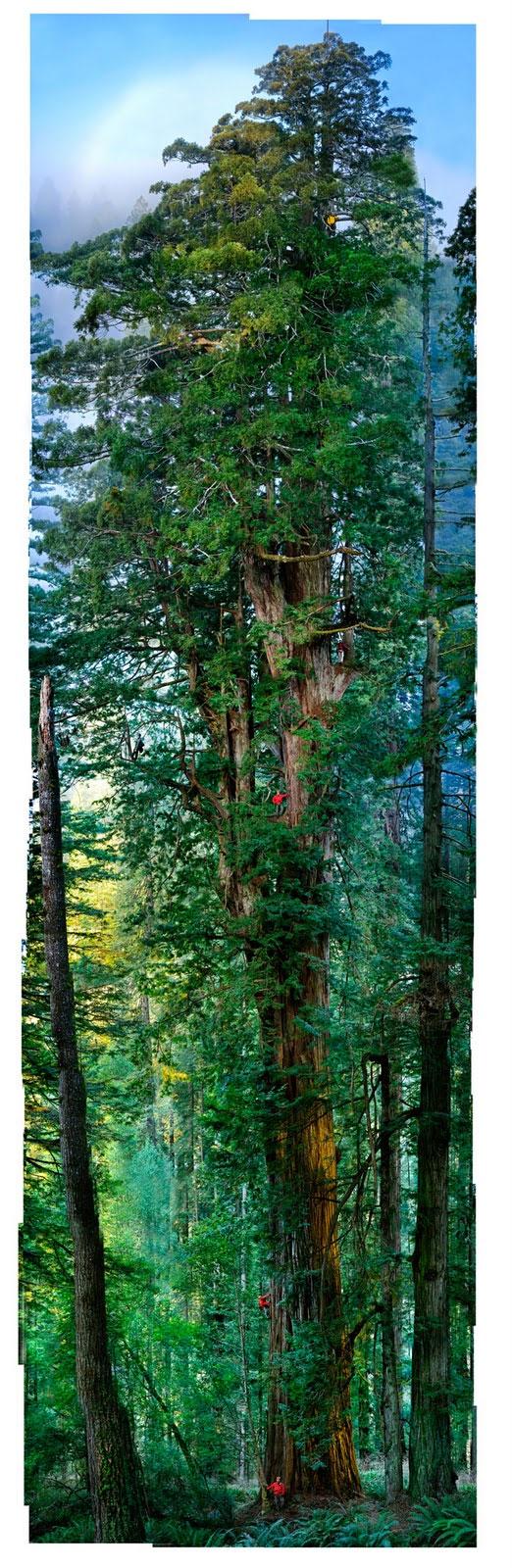 sequoia_Nichols