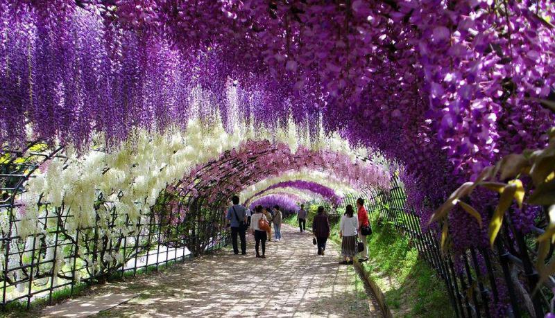 kawachi-fuji-garden-kitakyushu-japan-wisteria-1
