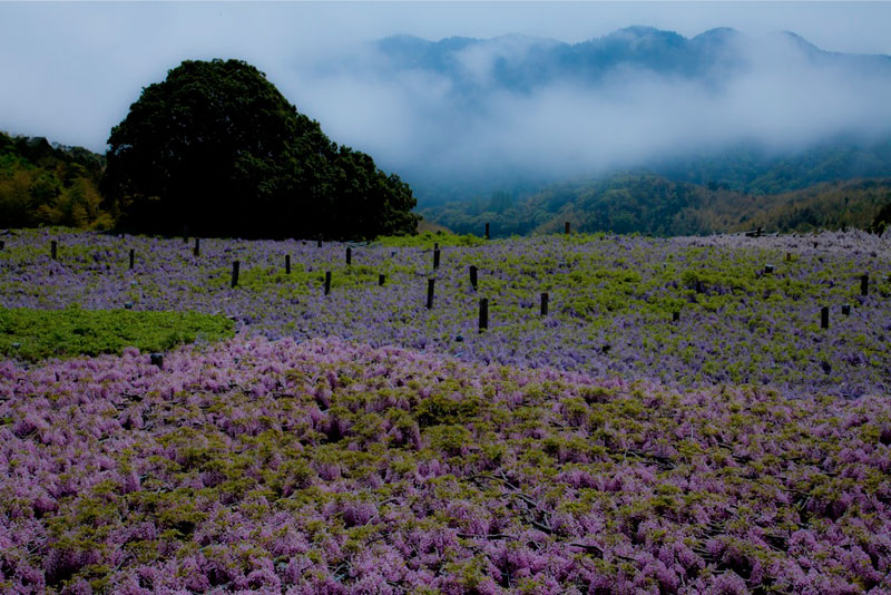 kawachi-fuji-garden-wisteria-tunnel-kitakyushu-japan-3