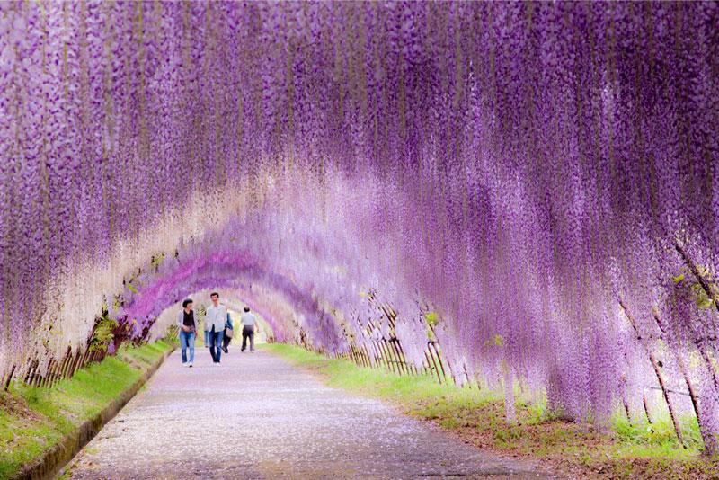 El túnel de las glicinias en flor de los jardines Kawachi Fuji