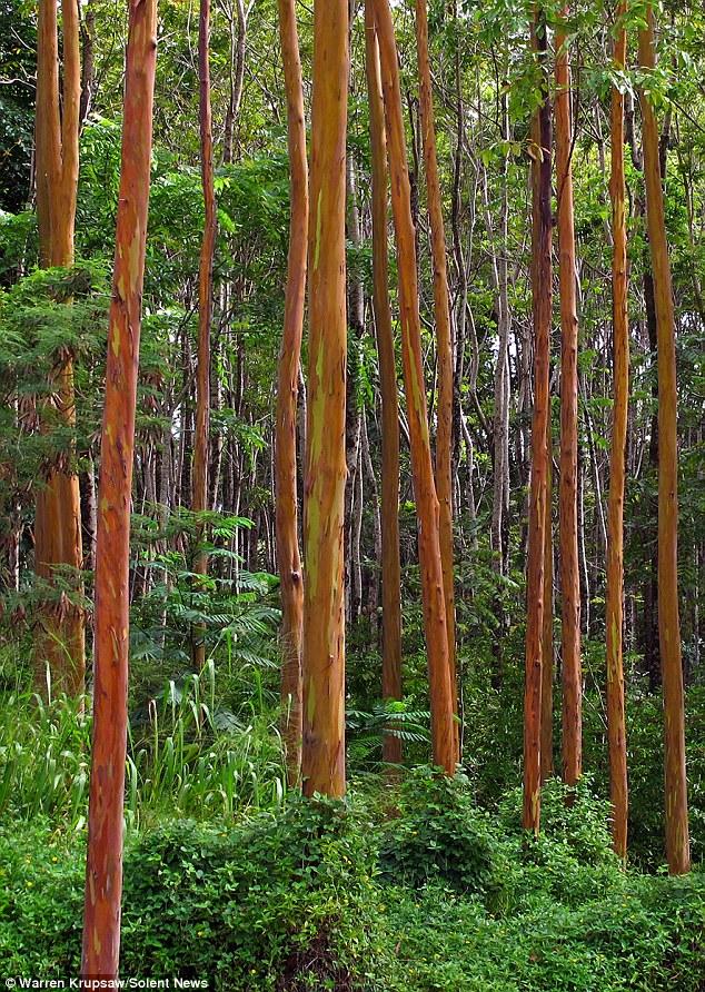 Eucalipto_arco_iris_Eucalyptus_deglupta_1
