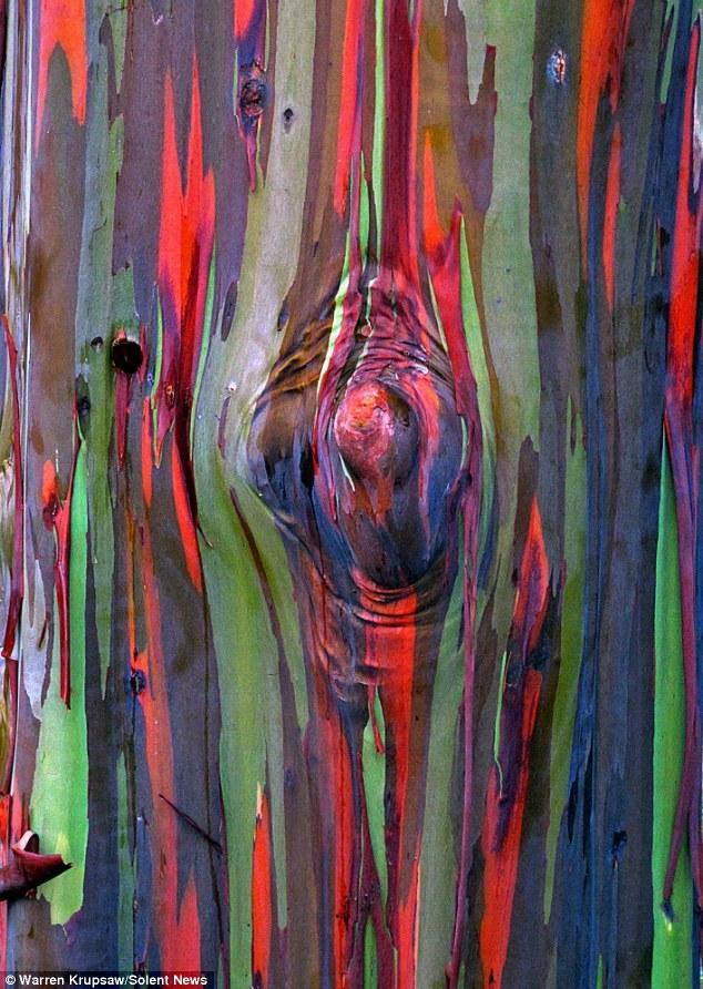 Eucalipto_arco_iris_Eucalyptus_deglupta_2