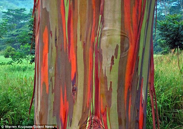 Eucalipto_arco_iris_Eucalyptus_deglupta_6