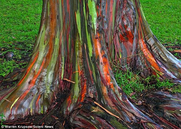 Eucalipto_arco_iris_Eucalyptus_deglupta_9