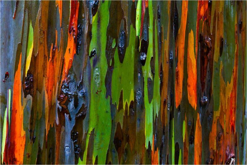 amazing-trees-rainbow-eucalyptus-1