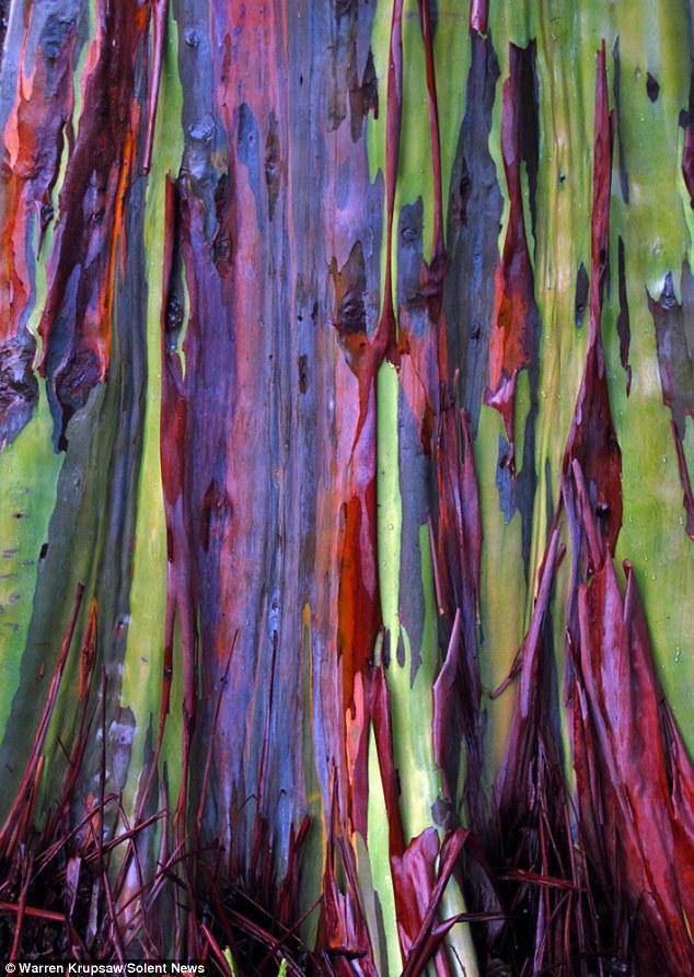 amazing-trees-rainbow-eucalyptus-8