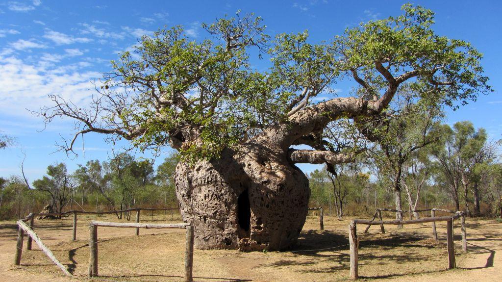 Prision Boab / El árbol prisión